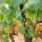 Aligote: Burgundy's Other White Grape
