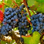 Alicante Bouschet: Planting Roots in the New World